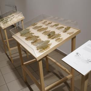 Peter Matyasi: Artist In Residence 1-2., leaves, plexiglass, wooden stand, 80×115×60cm, 2 pcs, 2018, Herbarium exhibition